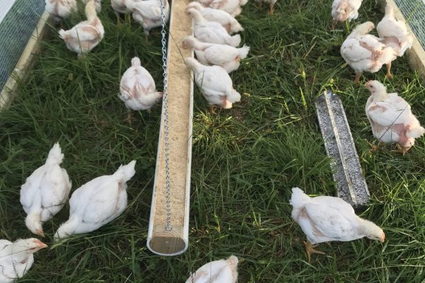 Broiler (meat) chickens inside their chicken tractor